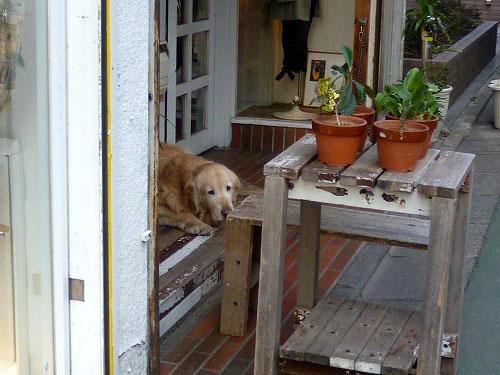 こっちを見ている犬