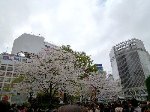 緑の電車の側の桜