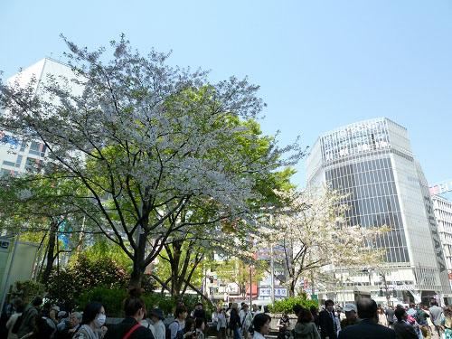 ハチ公前の桜